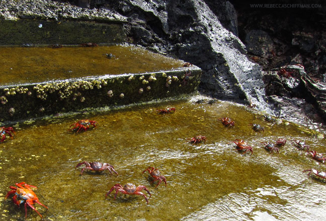Sally Light Foot Crabs in Galapagos Islands